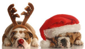 english bulldogs dressed up as santa and rudolph