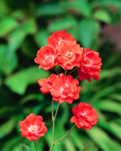 Red Old Garden Roses