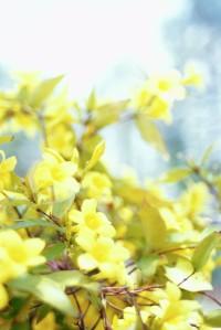 Carolina Jasmine Flowers