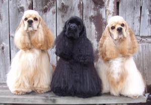 three american cocker spaniels